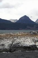 kormorane auf feuerland photo