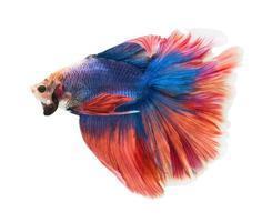 poisson de combat siamois, betta