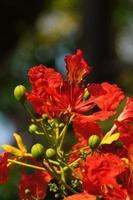 Flamme des fleurs d'arbre ou royal poinciana au soleil