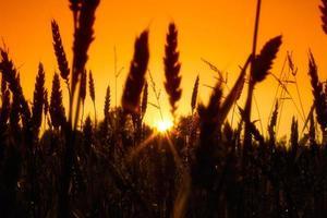 champ avec des épis de blé d'or au coucher du soleil photo