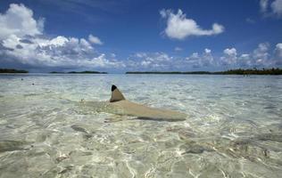 requin de récif à pointe noire photo