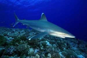 Carcharhinus albimarginatus / requin à pointe argentée photo