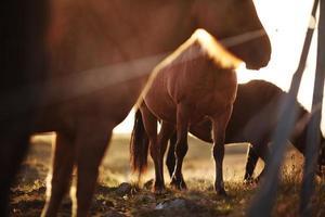 Détails de chevaux islandais, péninsule de Snaefellsness, Islande