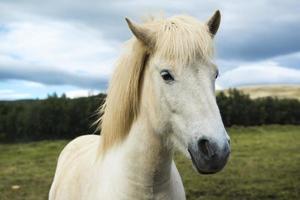 Cheval islandais blanc sur un pré vert, Islande