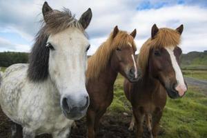 Trois chevaux islandais debout dans une rangée, l'Islande