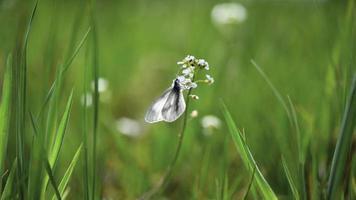 bois blanc - leptidea sinapis, nature photo