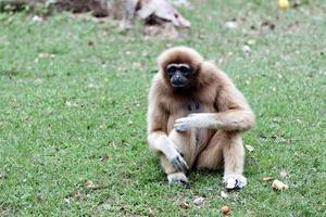 singe assis pour chercher de la nourriture. photo