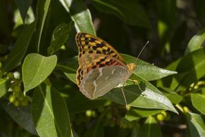 Papillon fritillaire cardinal sur feuille photo