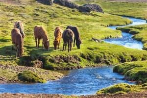 Chevaux dans un champ vert au paysage rural d'Islande