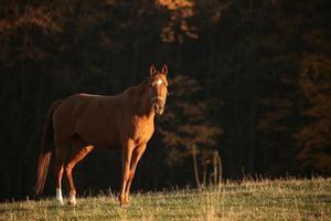 cheval au pâturage