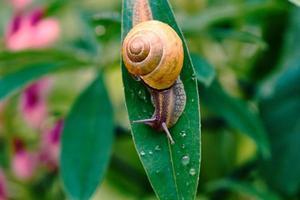 escargot sur une feuille après la pluie