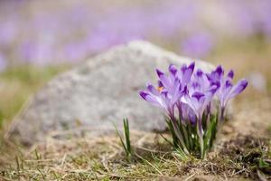 belles fleurs de crocus dans les montagnes tatry