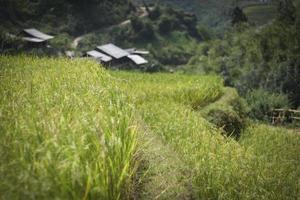 les champs en terrasse mûrissent dans le nord du vietnam