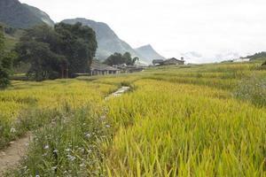champ de riz vert et jaune