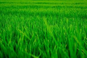 la rosée est sur le champ de riz