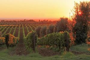 Coucher de soleil dans un vignoble, Toscane - Italie