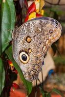 papillon hibou, forêt tropicale humide