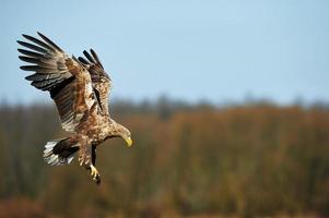 aigle à queue blanche