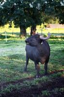 taureau de buffle