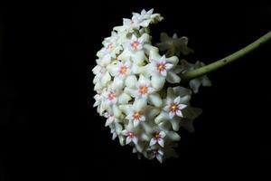 fleur de hoya sur fond noir