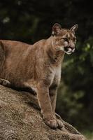 Chat sauvage assis sur un rocher brun au garde-à-vous