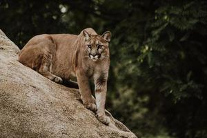 Cougar sur formation de roche brune photo