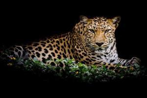 gros plan portrait de léopard