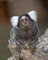 Ouistiti à oreilles blanches, callithrix jacchus