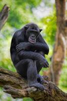 chimpanzé commun photo