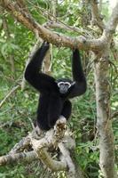 gibbon ou lar à joues blanches photo