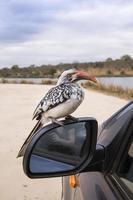 Calao à bec rouge du sud dans le parc national Kruger photo