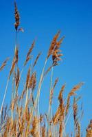 roseaux d'herbe