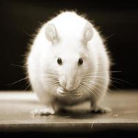 curieux rat blanc photo