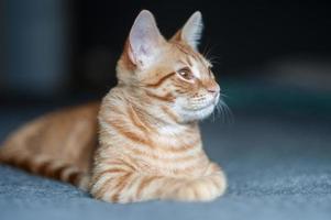 chat avec la tête tournée vers la droite