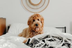Chien brun à poil court sur le lit