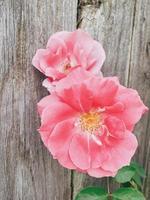 fleur rose contre une clôture en bois