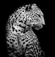 côté noir et blanc du léopard