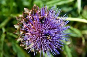fleur de chardon-Marie photo
