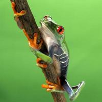grenouille yeux rouges agalychnis callidryas photo
