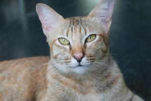 chat tigré orange