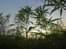 champ de plantes de cannabis au coucher du soleil