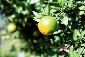 orange sur arbre à