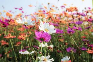 fleurs de cosmos colorées