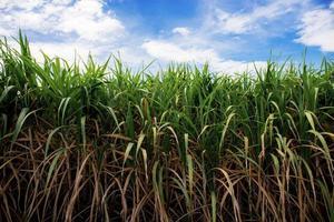champ de canne à sucre en été