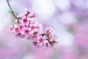 fleur de prunus cerasoides, gros plan