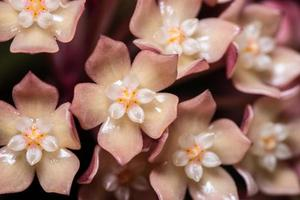 fleur de hoya rose, macro