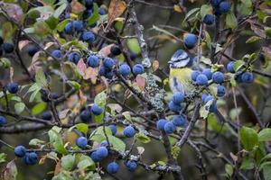 mésange bleue dans l'arbre de prunellier