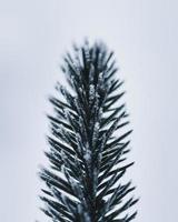 feuille de pin gros plan photo