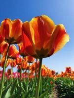 tulipes jaunes en fleur
