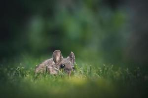 souris dans l'herbe verte